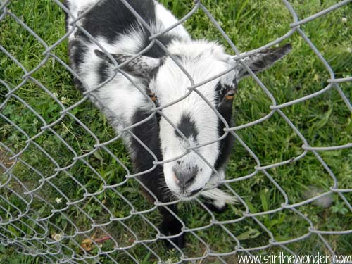 Hello goat.