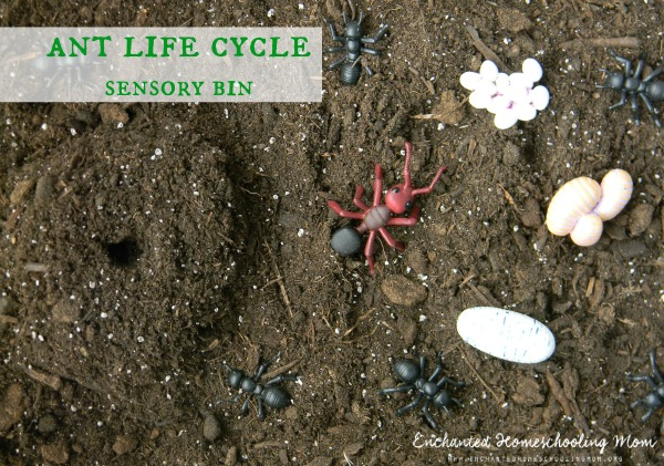 Ant Life Cycle Sensory...