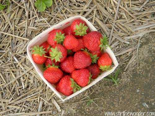 Field Trip: Strawberry Pickin'