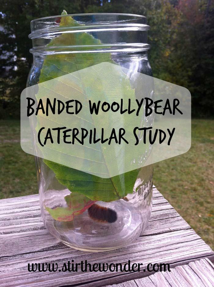 Banded Woollybear Caterpillar Study