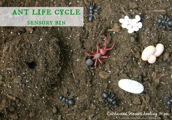 Ant Life Cycle Sensory Bin